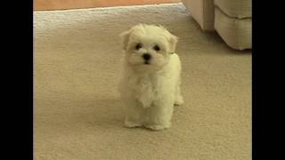 Cute Maltese puppy barking at camera Plainfield Illinois dancer PNHS Poms puppies dog Il