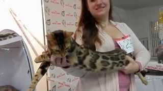 Бенгальская порода.Выставка кошек.29.11.14. Одесса. Odessa.