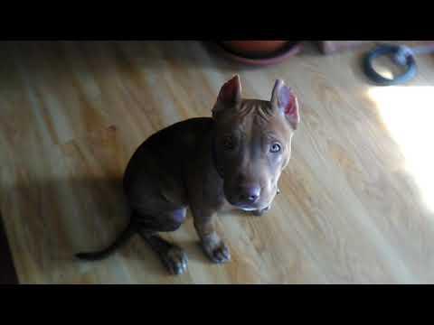 Питбуль Ася. 4 месяца. American pit bull terrier. Asya.