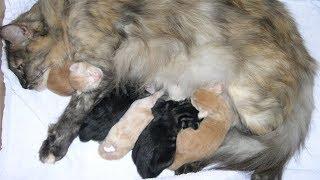 Mèo Lông Dài Mỹ Sinh Con Cực Kỳ Đáng Yêu