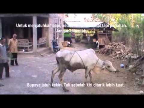 Cara mengikat dan merobohkan sapi dari ustad Anant