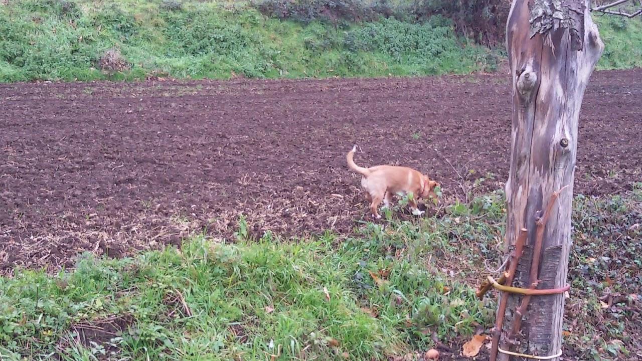 Cane da tartufo  rosso