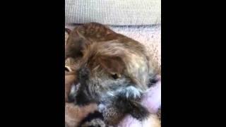 Cairn Terrier & Fat Shih-tzu