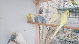 Muhabbet Kuşları Genel Durumu