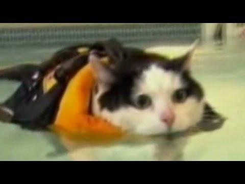 Fat cat laugh attack