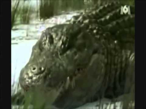 """Sarcosuchus & Deinosuchus """"Anti You"""""""