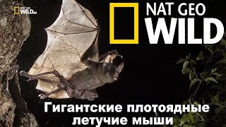 Nat Geo Wild: Гигантские плотоядные летучие мыши / Giant Carnivorous Bats