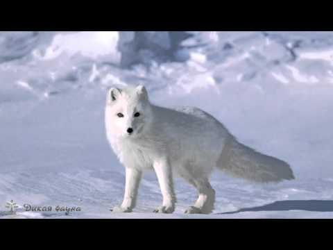 Животное песец: как выглядит полярная лисица