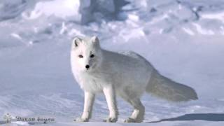 Песец (Полярная  Лиса)/The Scribe (Polar Fox)