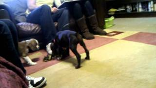 Cavalier Puppy And Dalmatian Cross Puppy Playing