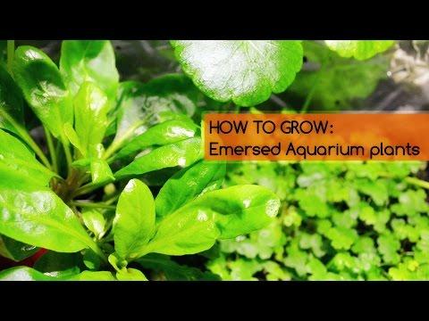 HOW TO GROW: Emersed Aquarium plants| Basics