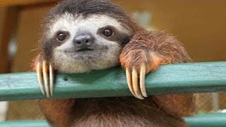 CUTE BABY SLOTH RESCUE
