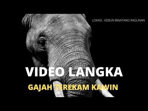 video-langka-:-gajah-kawin-yang-terekam-kamera