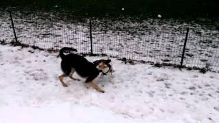 Jack Russel Terrier Mix Vs German Shepherd