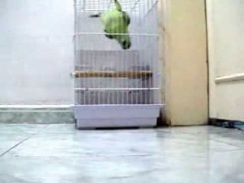 Amazon Parrot Speaking in Arabic