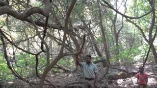 天然のハーブシャンプーであるシカカイが、どのように野生の森から収拾...