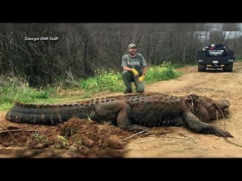 Otis - 360 Pound Georgia Dinosaur Gator Captured After Chasing Kayaker