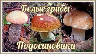 Белые Грибы и Подосиновики в Сентябре | Осенние Грибы  | Начинают массово расти грибы для засолки