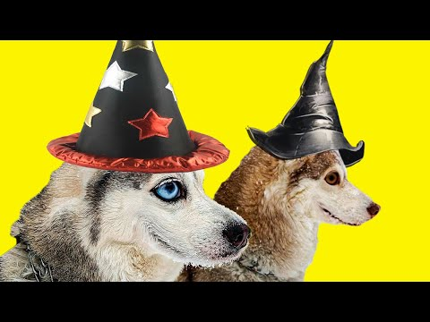 Мы снова ВОЛШЕБНИКИ!! Хасячья магия вернулась!! (Хаски Бандит) Говорящая собака