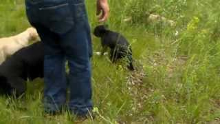 Black Labrador Puppy Training With Sendher And Randy Huenergardt At Labs-r-it.com