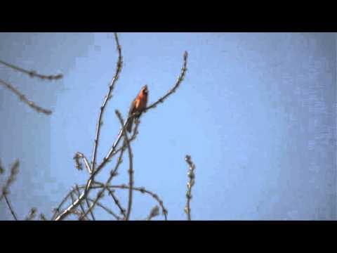 Le chant du Cardinal rouge 02