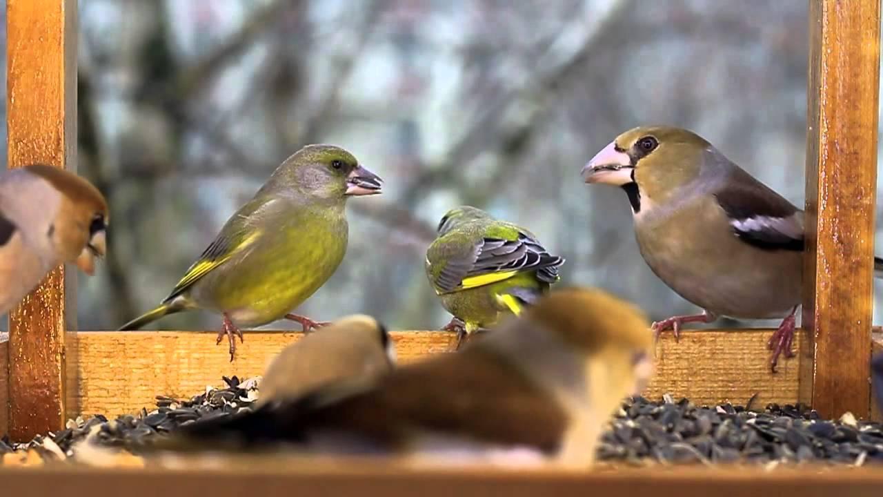 madár hemoparasites
