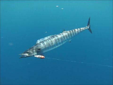 Fishing Wahoos and Tunas in Panama (underwater) - GEM Charters