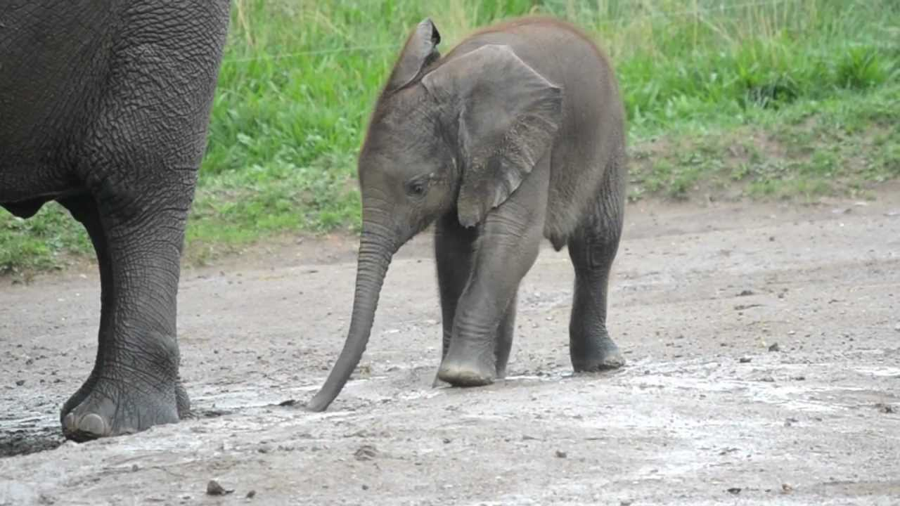 Image result for african elephant calf