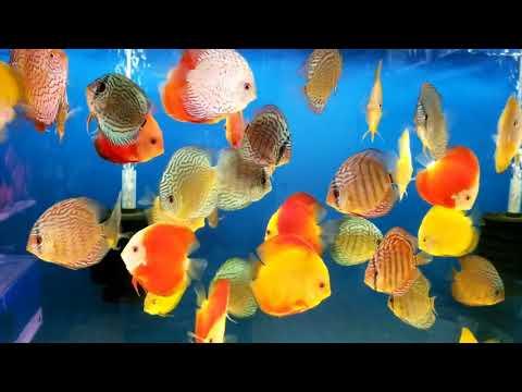 Discus Fish Malaysia Shipment 5-31-18