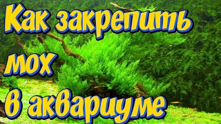 Аквариумный мох. Как  можно прикрепить мох в аквариуме