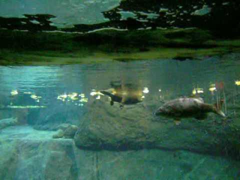 La nage du castor
