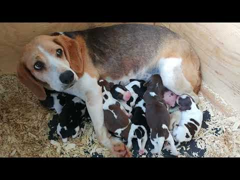 NEWBORN BEAGLE PUPPIES! Babes with her one day old pups
