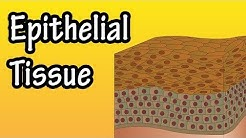 hqdefault - What Epithelial Tissue Forms The Collecting Tubules Of The Kidney