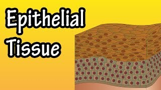 Epithelial Tissue - What Is Epithelial Tissue - Functions Of Epithelial Tissue - Epithelial Cells