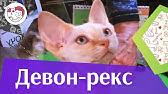 Добро пожаловать на сайт кошек породы корниш рекс sunrise, современного типа. Котята корниш рекс, корниш рекс котята. Котята продаются.
