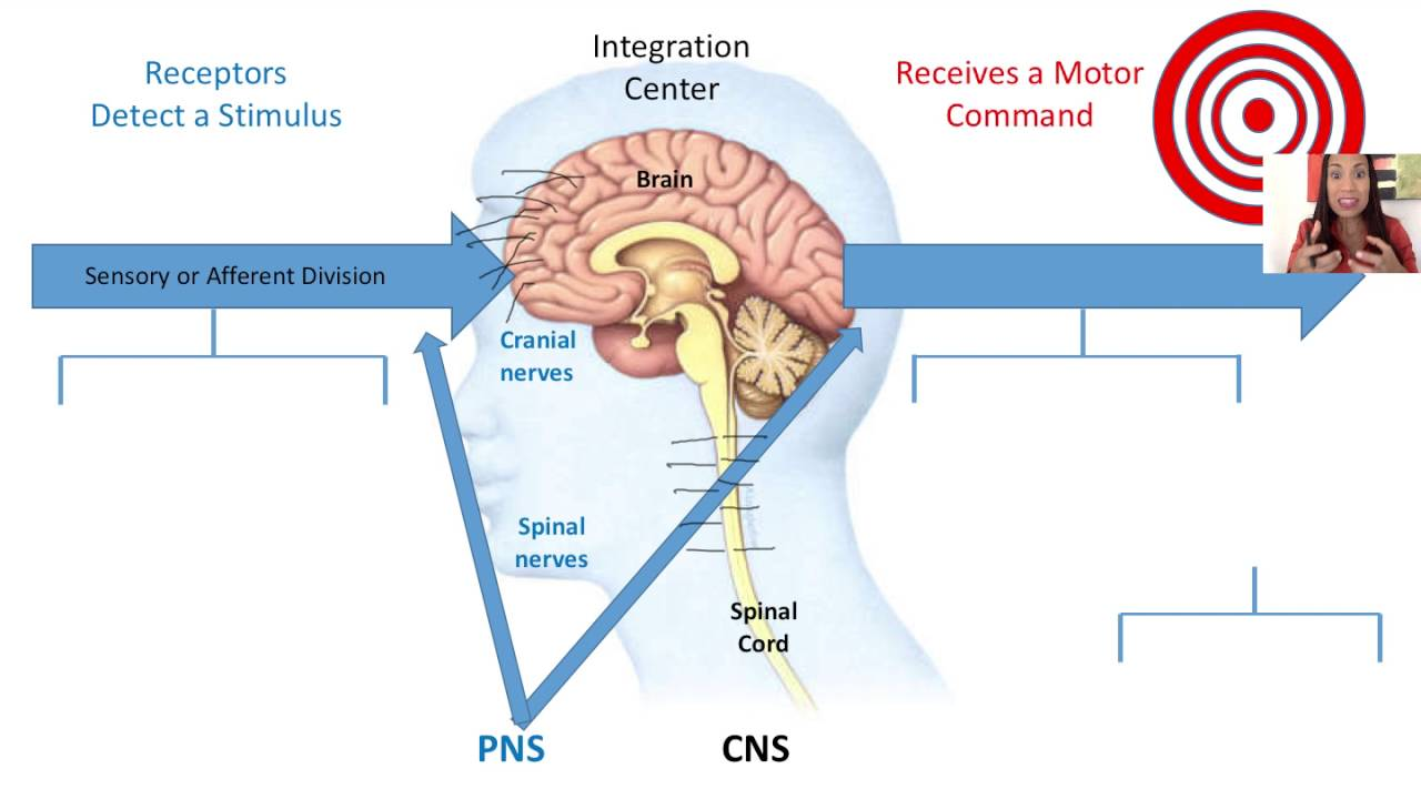 1 functional organization of the nervous system youtube functional organization of the nervous system ccuart Gallery