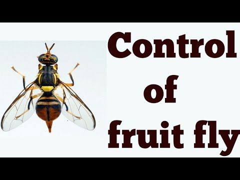 How to control? fruit fly in Guava || Latest upload 2018.