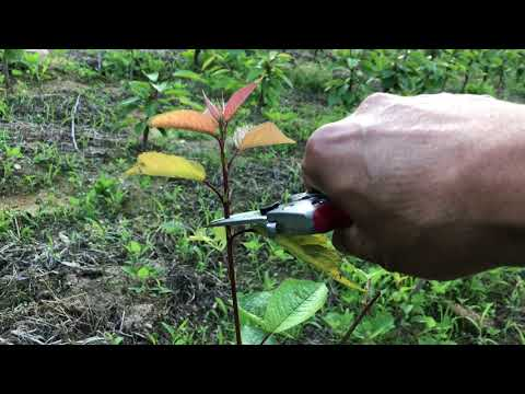 체리나무 일년생 가지만들기