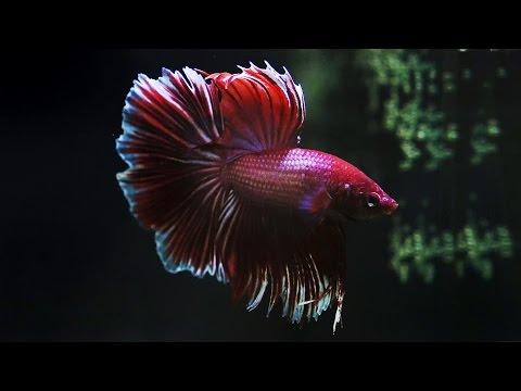 More Amazing Betta Fish Facts