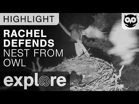 Rachel Defends Nest From Owl Attack - Audubon Osprey - Live Cam Highlight