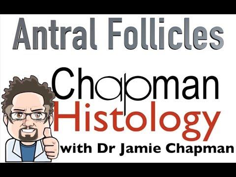 3 Min Histology Antral Follicles