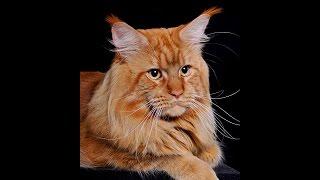 Котята МЕЙН-КУН в разведение! Продам котят в хорошие дома.