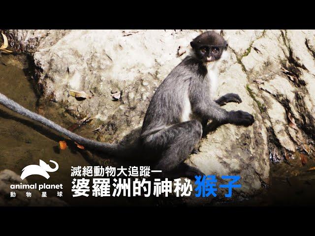 神秘猴子現蹤?前進婆羅洲一探究竟 動物星球頻道