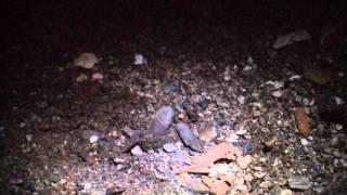 ウミガメの孵化at安楽島海水浴場