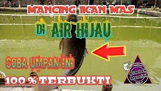 Download Video UMPAN IKAN MAS DI AIR HIJAU# COBA UMPAN JITU INI# 100 % TERBUKTI MP3 3GP MP4