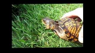 Determining Gender And Age Of Box Turtles
