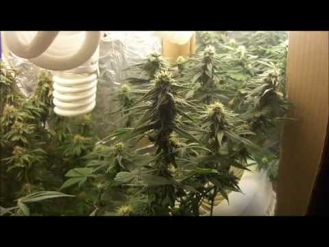 CFL Marijuana Grow - Take Two POWER HOUSE
