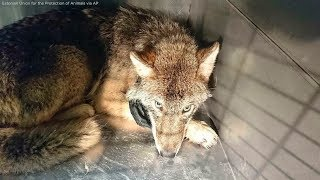 Workers Save Wolf They Thought Was A Dog From Icy River