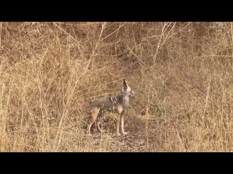 Coyote Calling,  South End of Red Car Property, June 11, 2017