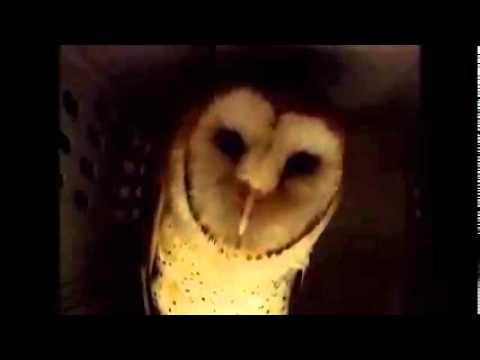 Barn Owl hissing - YouTube
